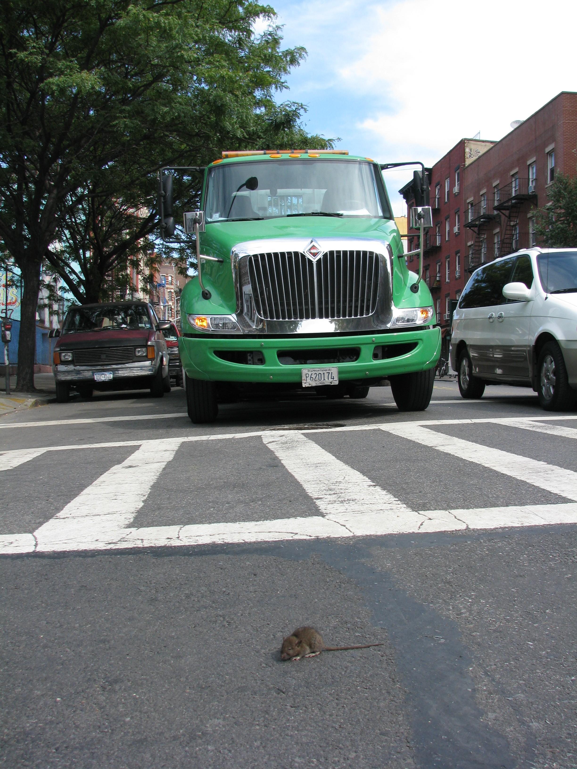 Baby Rat in Street