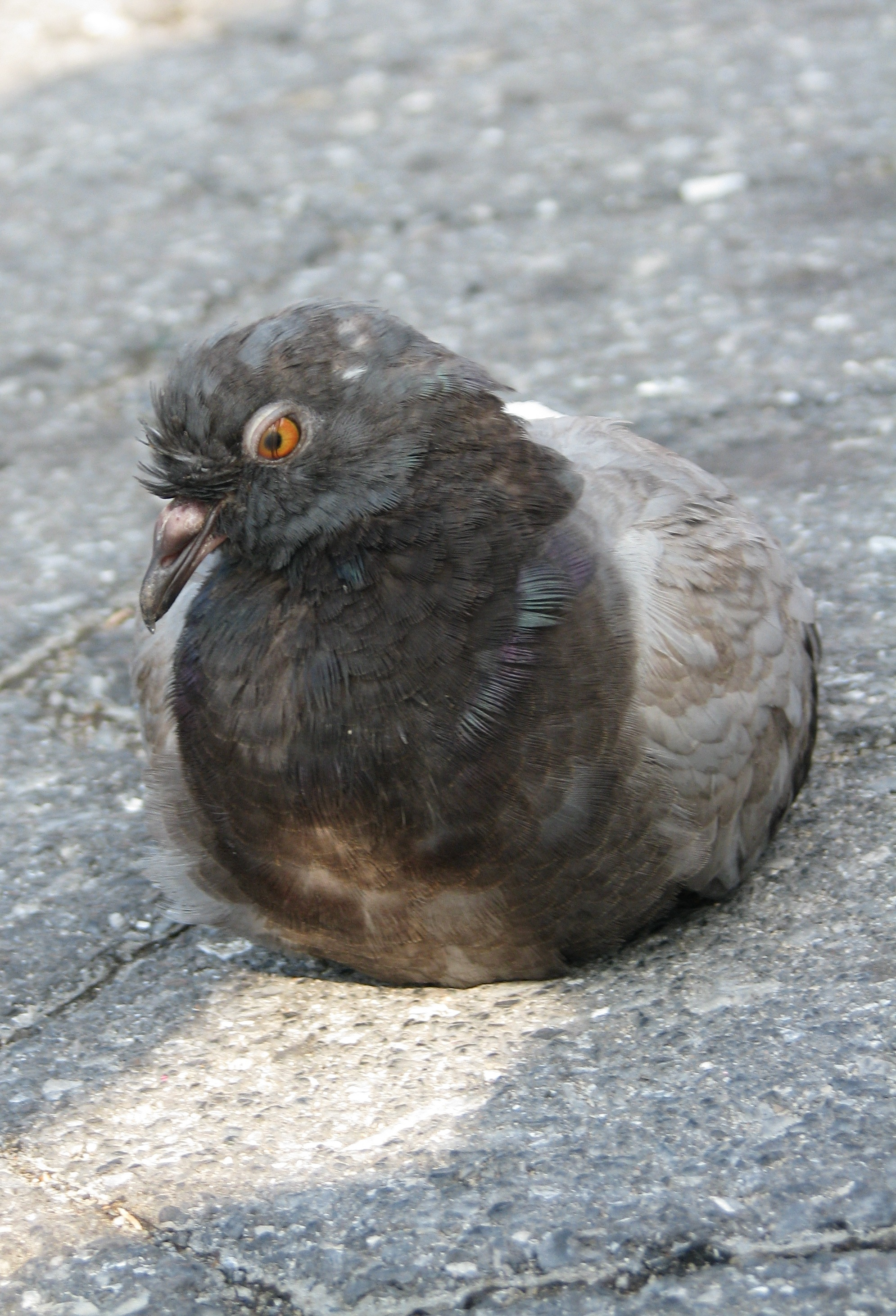 Angry Union Square Pigeon